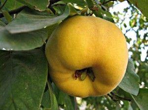 Ароматні плоди айви для смачних напоїв