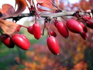 Чим корисні ягоди кизилу і які напої можна приготувати з них