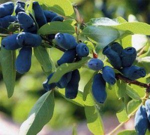 Чим корисні ягоди жимолості і які напої можна приготувати з них