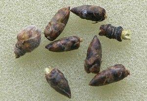 березові бруньки