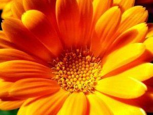 квітка календули
