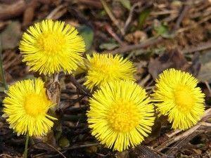 квітки мати-й-мачухи