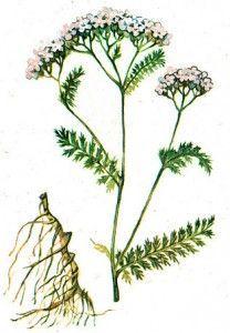 рослина деревію