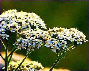 квіти деревію