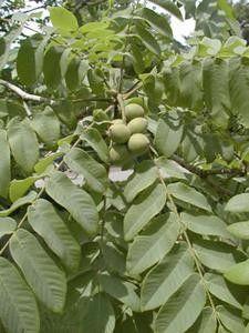 Настоянка маньчжурського горіха на горілці: рецепт, застосування