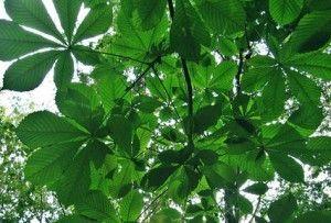 листя кінського каштана
