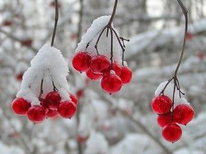 ягоди калини в снігу