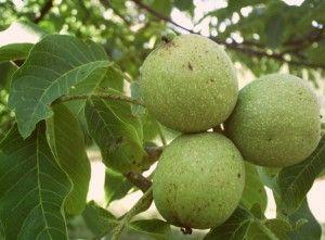 зелений волоський горіх на дереві