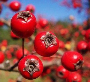 ягоди глоду