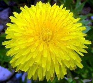 жовтий кульбаба