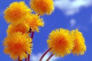 жовті кульбабки