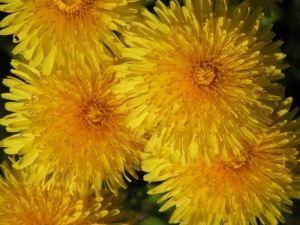 квіти кульбаби