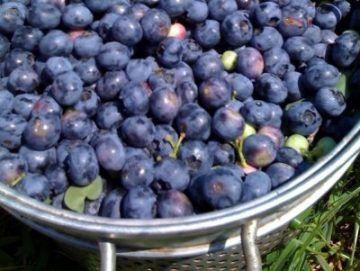 Домашнє вино з лохини