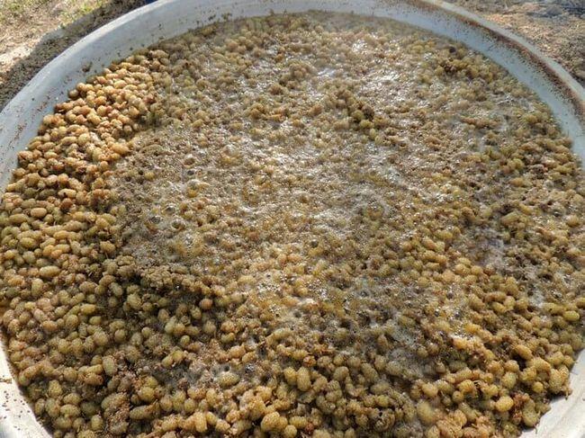 Виробництво браги для горілки з шовковиці