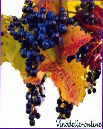 Сорти винограду для виробництва вин