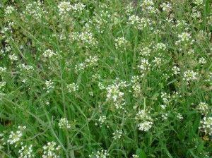 трава грицики