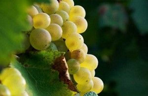 виноград Аліготе
