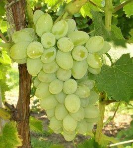 виноград Мускат білий