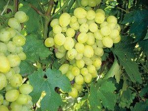 виноград Кристал