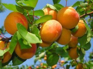 стиглі абрикоси на гілці