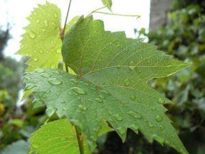 Вино з листя винограду, смородини або вишні