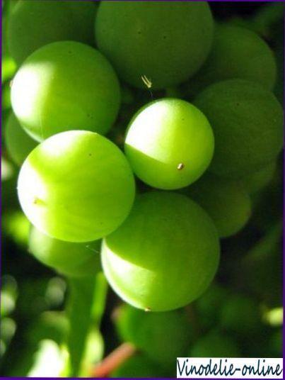 Вино з незрілого винограду