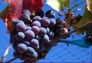 Виноград піно нуар