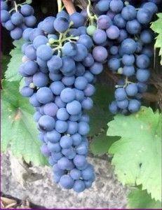 Виноград «сапераві»