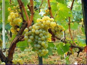 Виноград «шардоне»