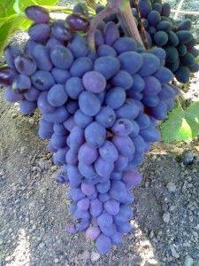 Виноград таїр