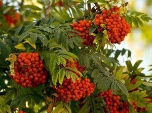 червона горобина (дерево)