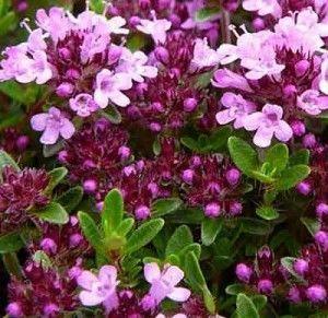 квіти чебрецю